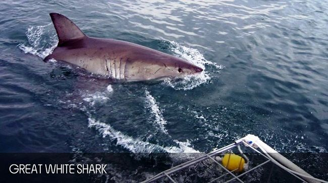 Dreaming About Shark Caging Diving in Cape Town This Winter?