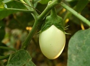 Eggplant Varieties: Best Bets and Easy-to-Grow