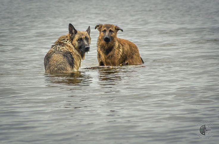 Deutscher Schäferhund | German Shepherd Dog | Alsatian | Owczarek Alzacki