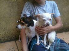 Terrier brasileño y Chihuahueño.jpg