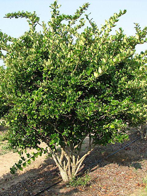 Wax Leaf Ligustrum Tree Form Sea Island Plant Palette