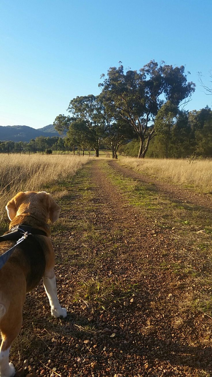 An eager beagle hoping to be unleashed upon unsuspecting rabbits