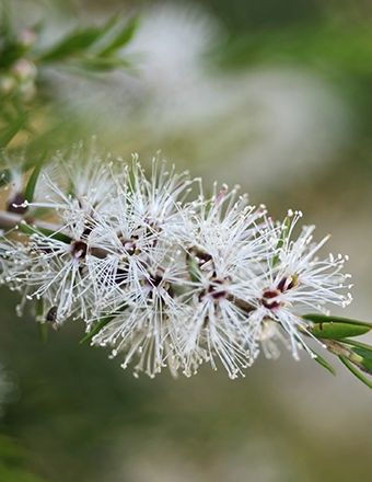 Cajeput is a refreshing essential oil that has an uplifting Eucalyptus-like aroma. Long used for chronic laryngitis and sore throats, this is a good choice for assisting in cold, flu, asthma, and rheumatism treatment. #EssentialOils #Aromatherapy #HolisticHealth