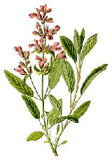 make sage tea. also a good website for looking up properties of other herbs