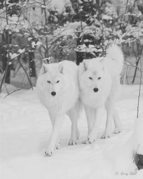 Beautiful White Wolves  So pretty.