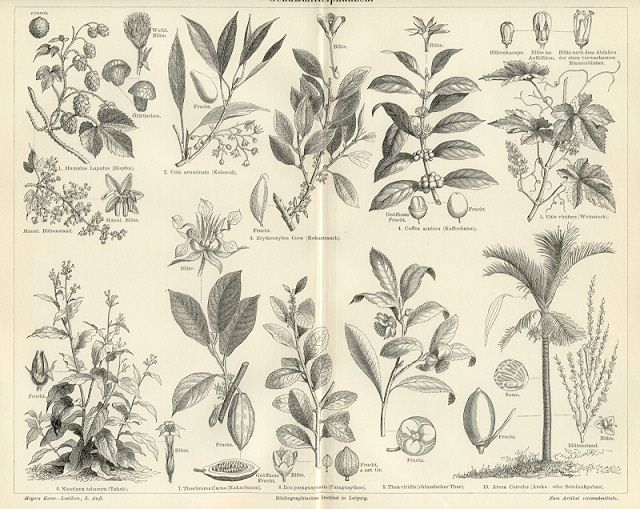 COFFEE PLANT,Common Hop,Cola Nut,Cacao Tree - Antique Prints and Antique Maps from Vintage-Views.com