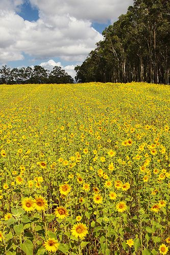 Field of Sunflowers, Pokolbin, Hunter Valley, Australia | Ewen Charlton