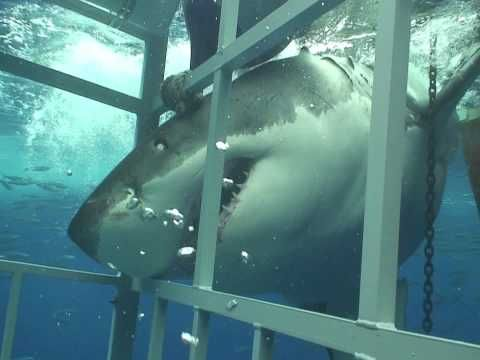 Cage dive Hermanus - ok, totally not going to do that now.
