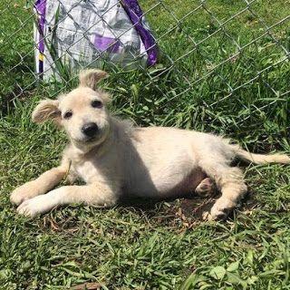 Este adorable cachorro es PANINO. Tiene 3 meses y esta desparasitado, vacunado y esterilizado. INFO: 311 803 12 94 o pedir el formulario de adopción al correo de: fundacionvivatma.au@gmail.com