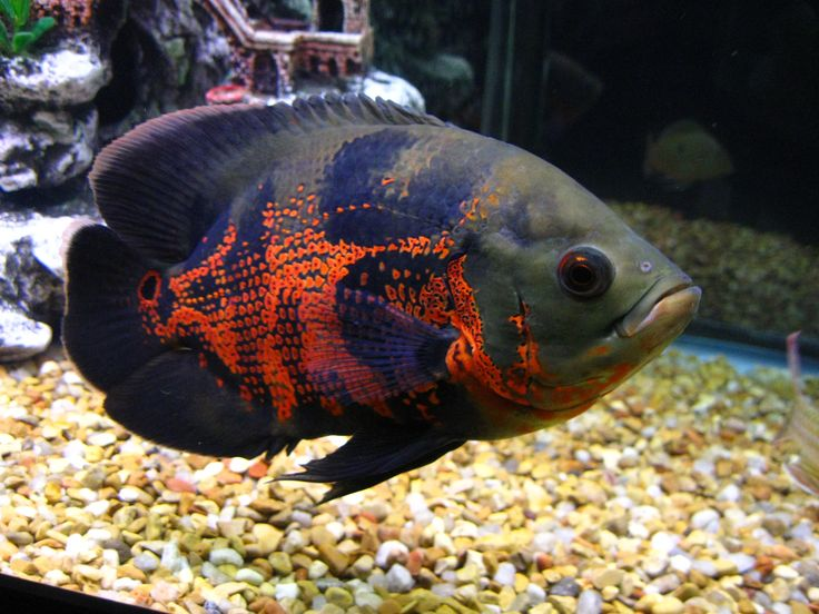 tiger oscar cichlid ~ He looks like the one I had.  I eventually found him a new home as my 2 Parrot fish used to bully him. There is more peace in the tank now.