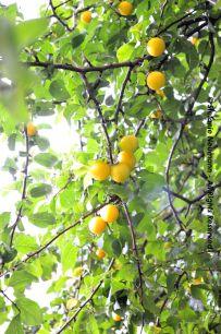 """EIN ERNTEPORTRÄT: """"Etwas Kurz-Gesagtes kann die Frucht und Ernte von vielem Lang-Gedachten sein."""" - Friedrich Nietzsche   Image: Plum Bliss © Stefanie Neumann - All Rights Reserved."""