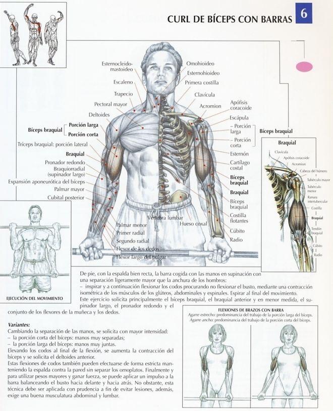 6 biceps