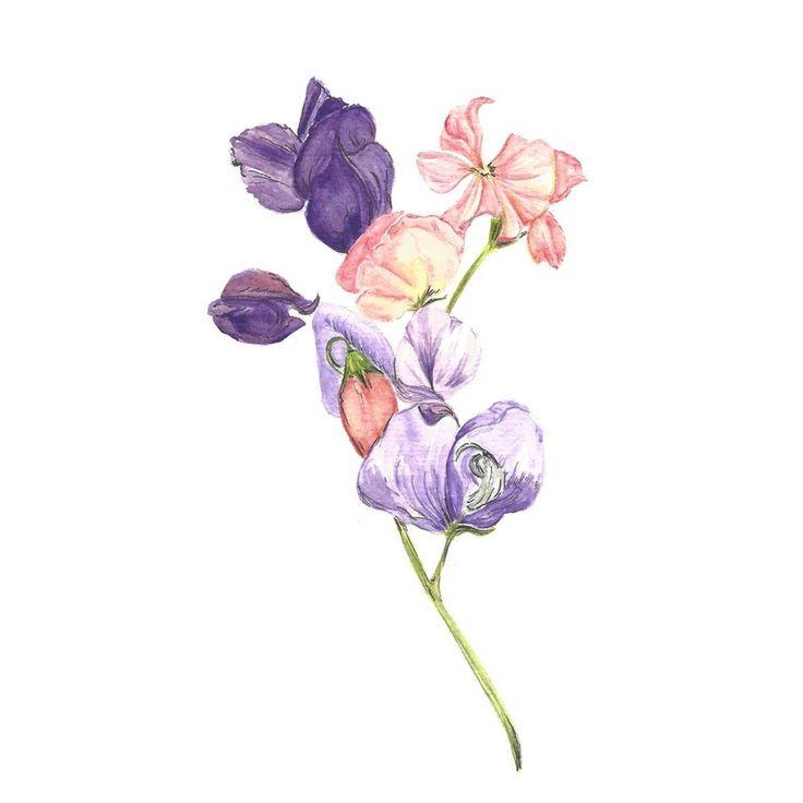 Image of [ORIGINAL] Lathyrus odoratus