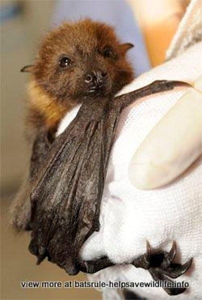 Bat Megabats,