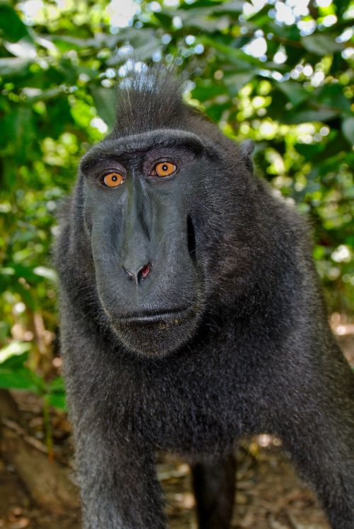 Endangered Black Crested Macaque, Sulawesi - Indonesia   by Stephane Bailliez
