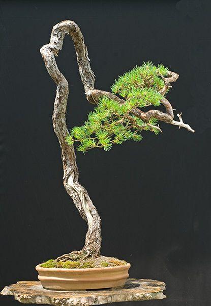 107 besten bonsai for beginners bilder auf pinterest. Black Bedroom Furniture Sets. Home Design Ideas