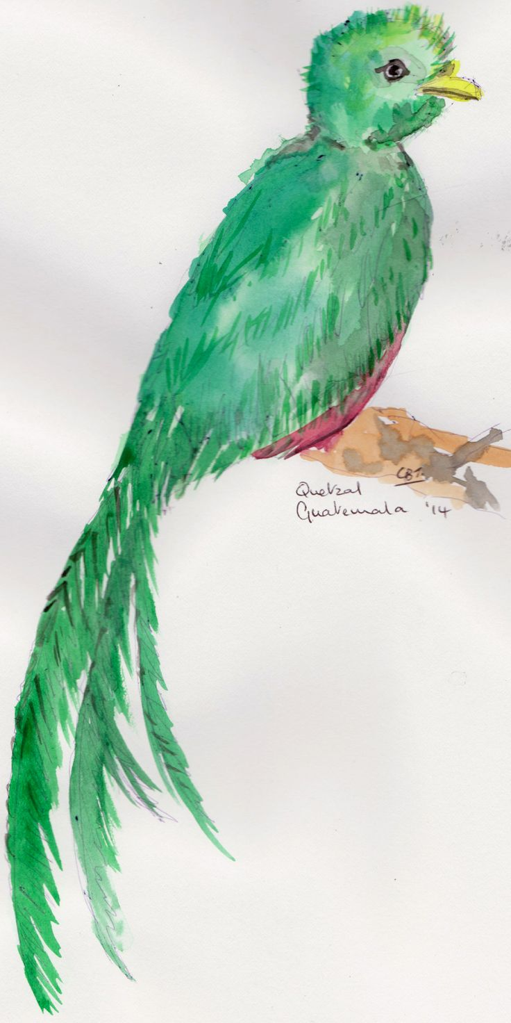 I spent 5 weeks in Guatemala & Belize recently.  My aim was to write my new book (my 10th book!) but I spent most of the time sketching the birds and flowers.  This bird is a quetzal.