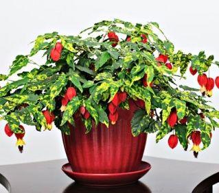kwitnące rośliny doniczkowe