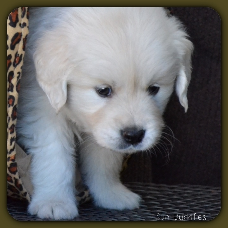Awwwww.....What a cutie!!!  #puppy #puppies #cute #golden #retriever