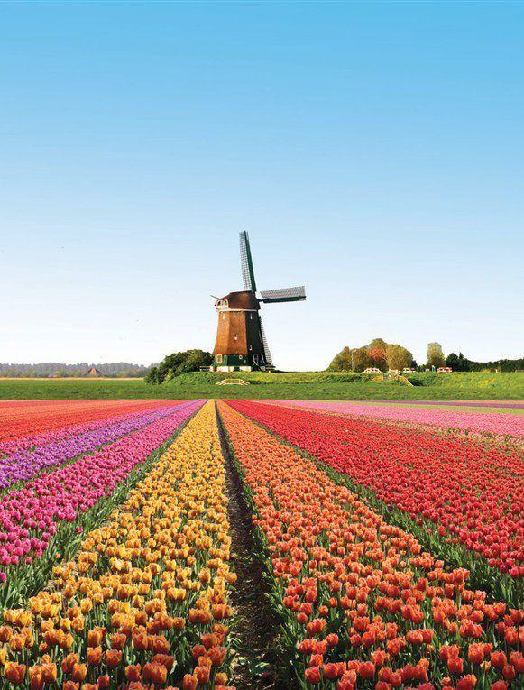 #Windmill and Tulipas - na #Holanda http://dennisharper.lnf.com/