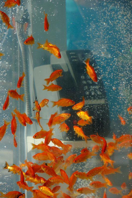 """В эпоху мобильных телефонов общественные телефоны-автоматы стали несколько устаревшими. В Японии художественный коллективный Kingyobu превратил телефоны-автоматы в аквариумы, заполненные золотыми рыбками. Само название этой арт-группы переводится как """"клуб золотой рыбки""""."""