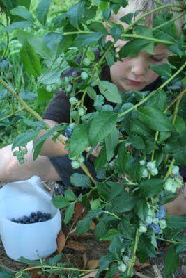 milk jug used when picking blueberries-GENIUS!