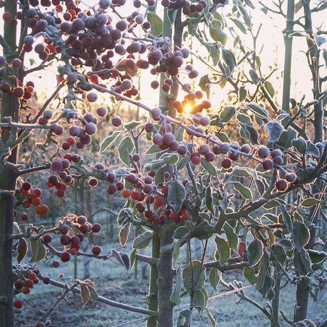 Sunrise behin frosty apple trees
