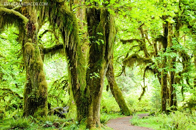 hall of mosses trees. rainforest washington. hiking in olympic national park pictures. trees in olympic rainforest. rainforest in us.