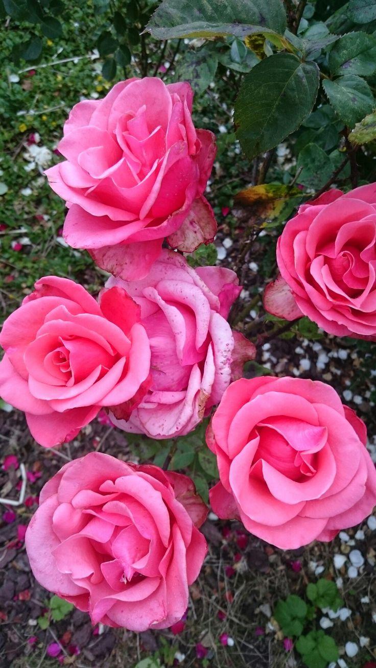 Pink roser