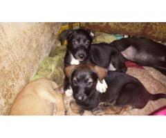 Doy en adopción cachorros mestizos de dos meses de edad