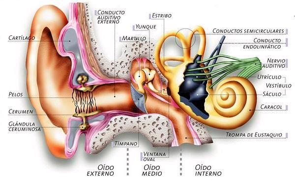 oido, modificado de Icarito