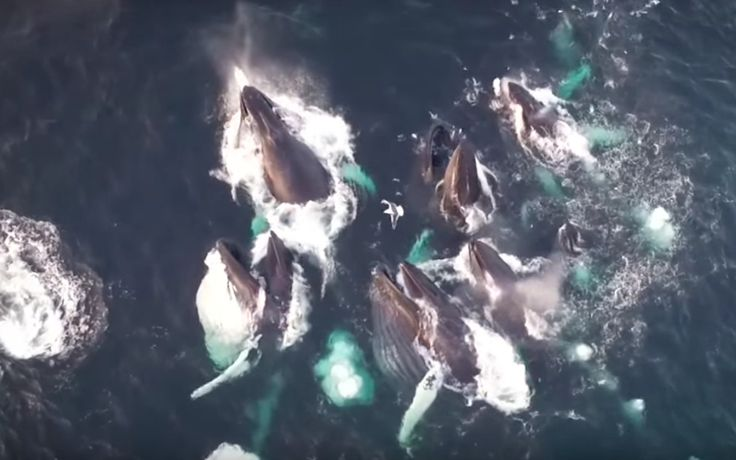 You Won't Believe This Amazing Drone Footage of Humpback Whales (VIDEO)