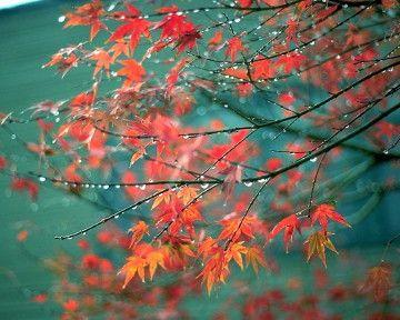 japanese maple..fav tree