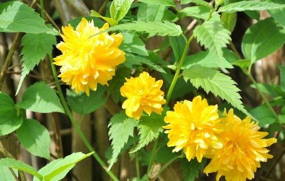 Le Corête du Japon, Kerria japonica   Arbuste idéal pour un jardin ensoleillé, le corête du japon est sans soucis, facile à cultiver et très décoratif, ses petits pompons jaunes, illumineront ...
