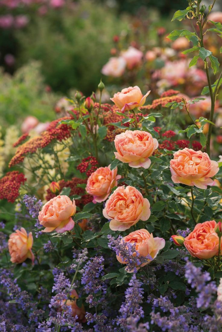 English rose gardens english rose garden seend - English Roses Are Some Of The Best Loved High Performance Flowers In The