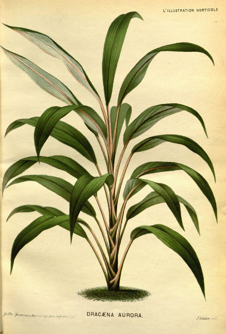 Best Kitchen Gallery: 12 Best Cordyline Images On Pinterest Family Illustration Leaf of Tropical House Plant Cordyline on rachelxblog.com