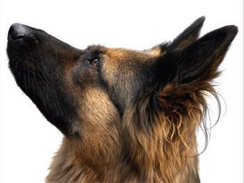 how to clean dogs ears with coconut oil