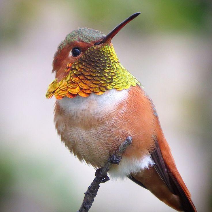 Tips and How-To's How to Take Exquisite Hummingbird Photos Allen's Hummingbird.Photo: Elisa Taylor-Godwin/Audubon Photography Awards