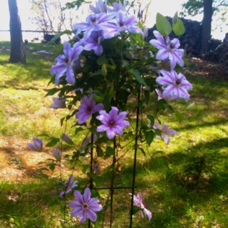 My clematis's first yr to bloomCountry Gardens