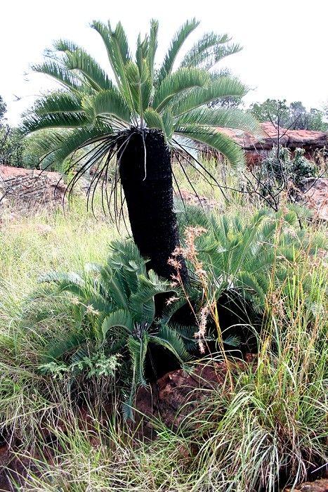 Encephalartos Lanatos            Olifants River Cycad         Olifantsrivierbroodboom