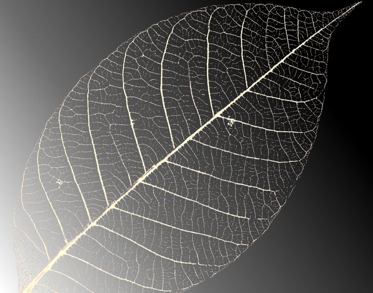 Black-White-Skeleton-Leaf-Background-for-Powerpoint-Templates.jpg (1752×1378)