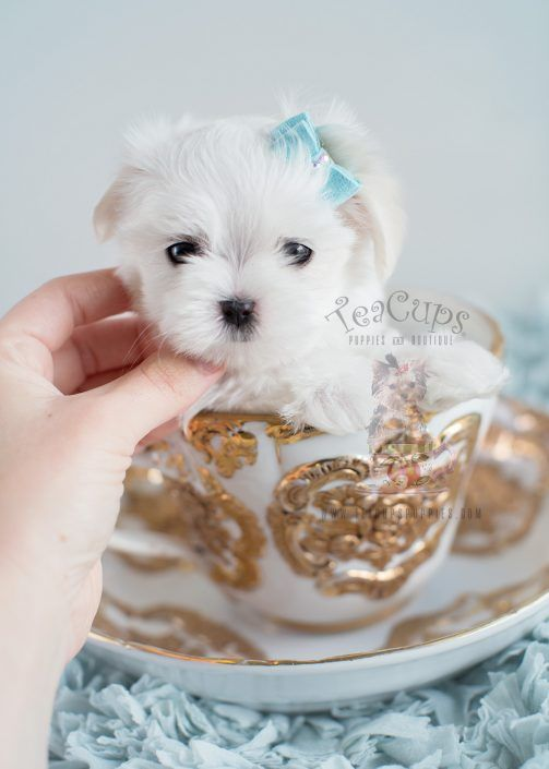 Teacup Maltese puppy by TeaCups, Puppies & Boutique! www.TeaCupsPuppies.com