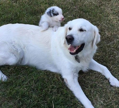 4 Yo M White English Golden Retriever Dog For Adoption In Austin