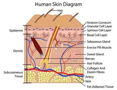 9 best anatomy images by seyva pimentel on pinterest human anatomy