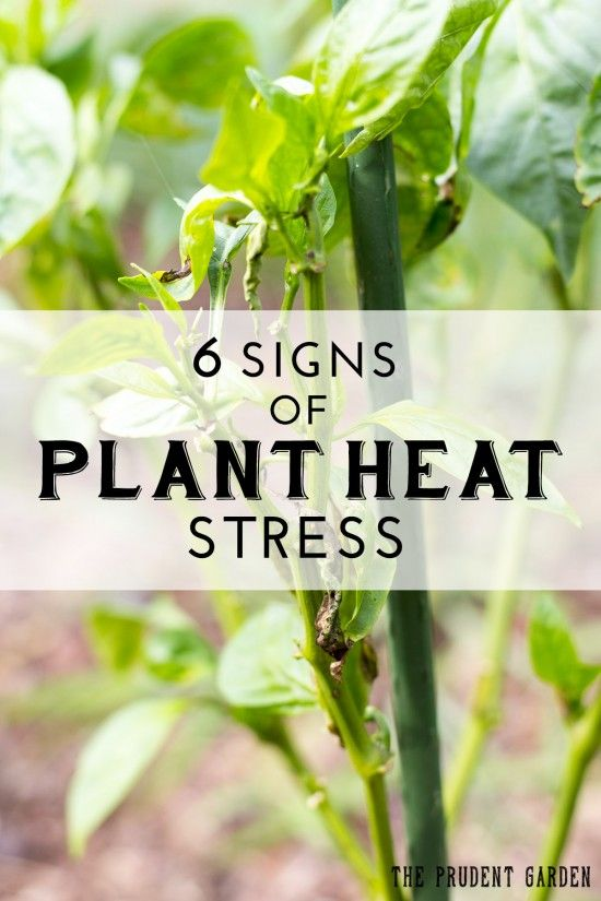 These six signs of garden heat stress are indicators that something must be done.Understand what is happening & how to keep your garden healthy in the heat.