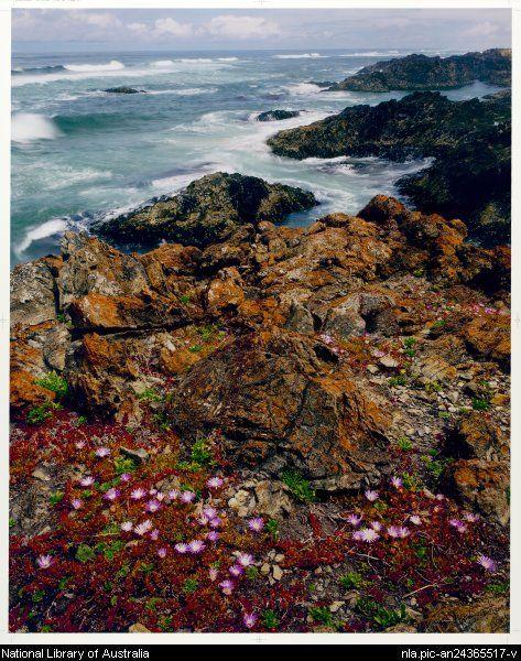 Peter Dombrovskis,1945-1996. Native pigface, Tarkine Wilderness, Tasmania, 1995 [picture]