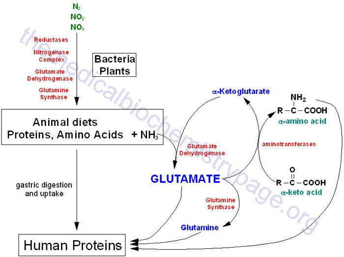 Nitrogen Metabolism and the Urea Cycle  Overview of the flow of nitrogen in the biosphere. Nitrogen, nitrites and nitrates are acted upon by bacteria (nitrogen fixation) and plants and we assimilate these compounds as protein in our diets. Ammonia incorporation in animals occurs through the actions of glutamate dehydrogenase and glutamine synthetase. Glutamate plays the central role in mammalian nitrogen flow, serving as both a nitrogen donor and nitrogen acceptor.