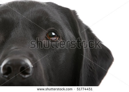 .: Stockings Photography, Labs Friday, Black Labrador Retriever, Labradoor 3, Eye Stockings, Labrador Stockings, Blue Eyes I, Black Labs, Downloads Labrador