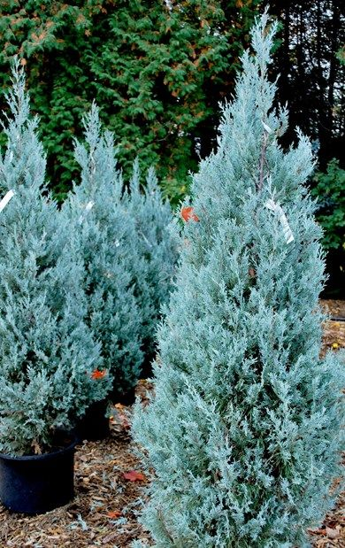 "Juniperus scopulorum ""Wichita Blue"" | Genevrier des Rocheuses / Rocky Mountain Juniper"