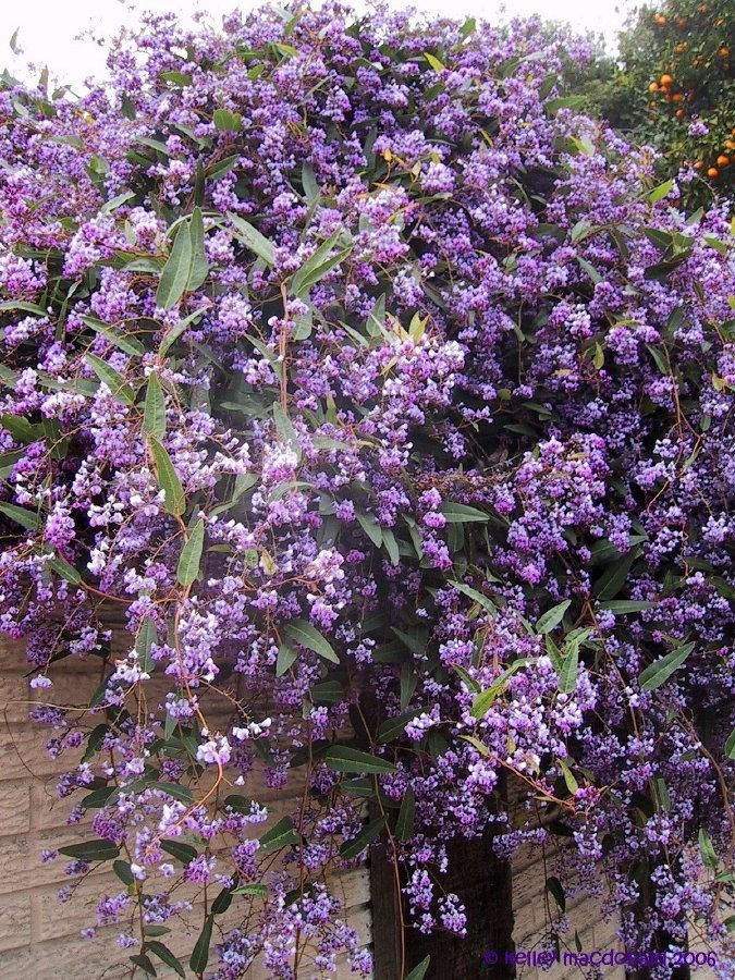 Lilac Vine   ... Wanderer, Coral Pea, love this
